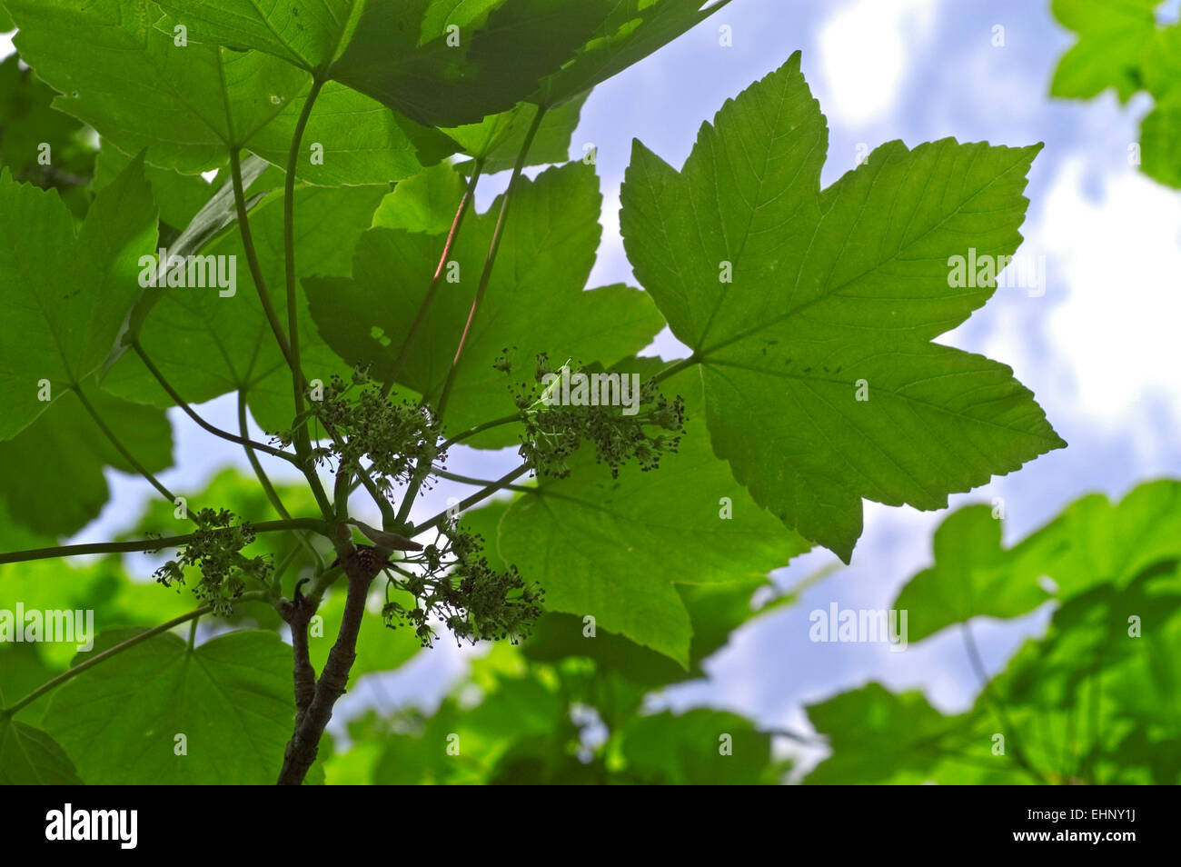sycamore maple false plane tree acer pseudoplatanus close up