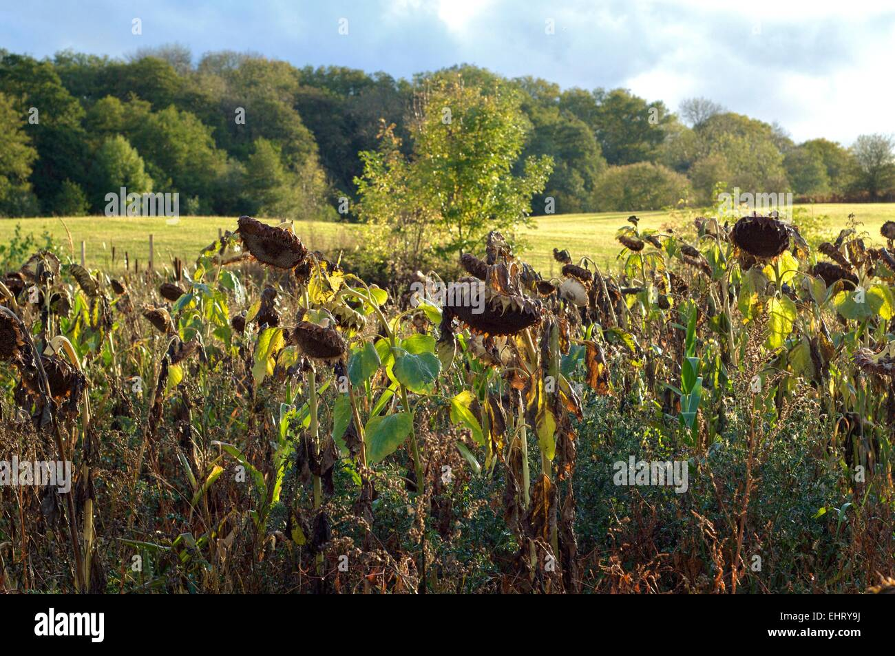 Dead Sunflowers In A Field The United Kingdom Autumn