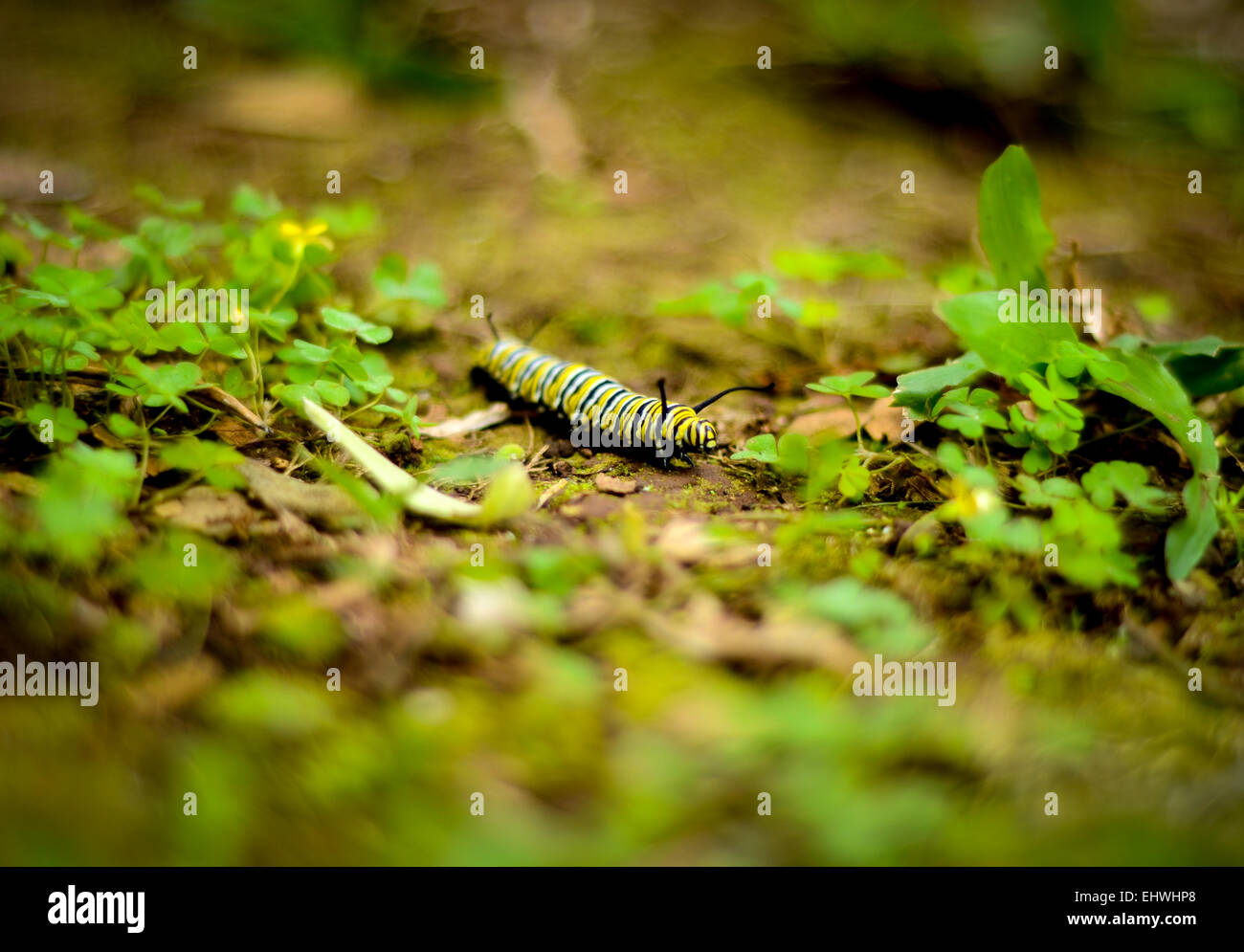A Bright Yellow And Black Caterpillar On Jungle Floor (Shallow DoF)
