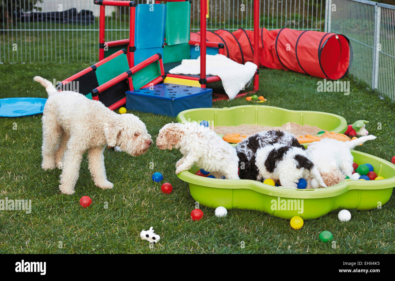 Lagotto Romagnolo Bitch Puppies Puppy Playground Germany