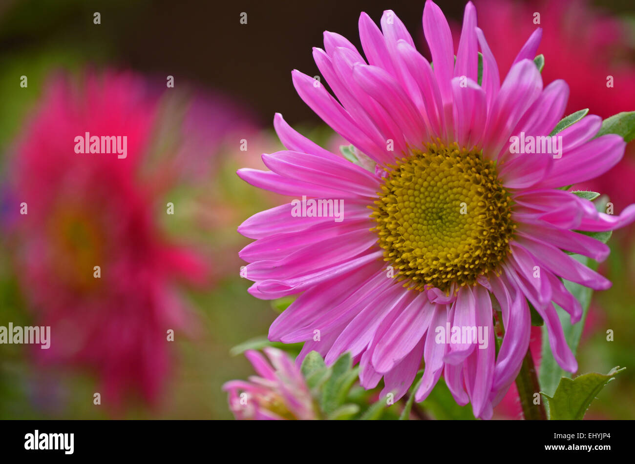 aster flower with pink petals at botanical garden in stock photo, Beautiful flower