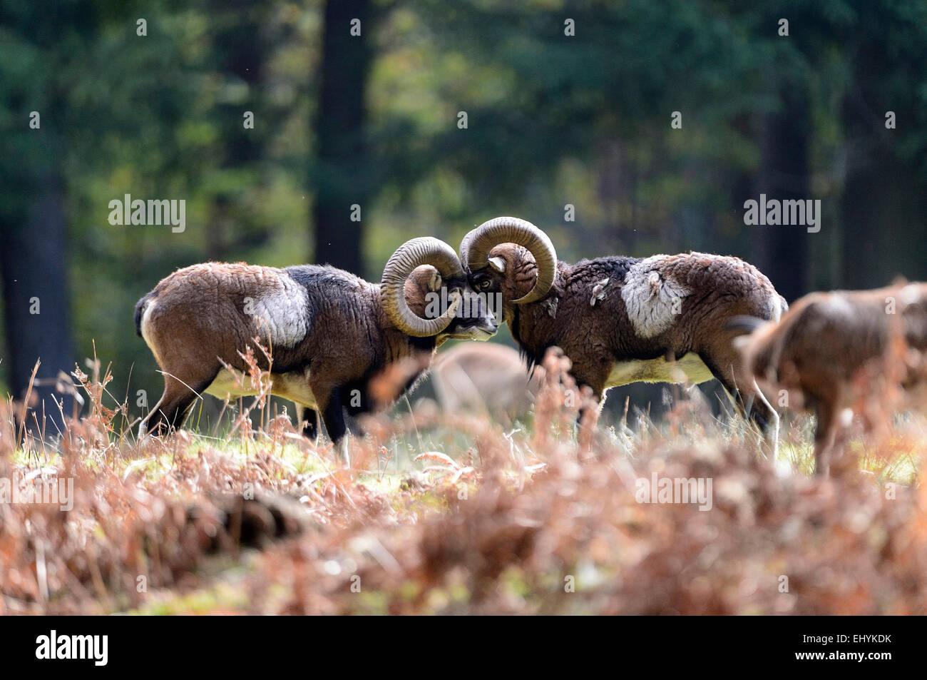 mufflon animal ram aries ram mountain ovis ammon musimon