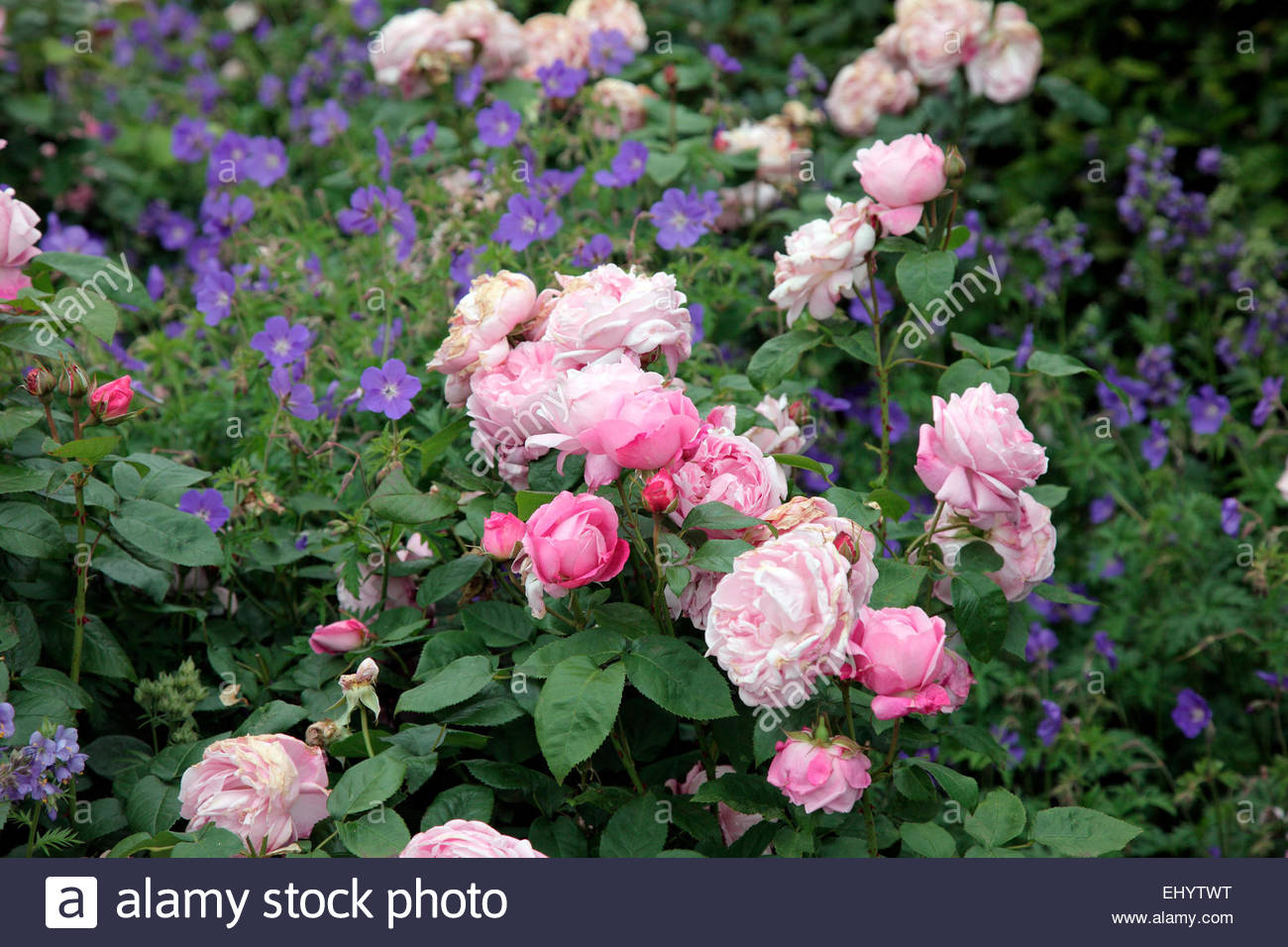 rosa 39 mary rose 39 david austin new english rose with. Black Bedroom Furniture Sets. Home Design Ideas