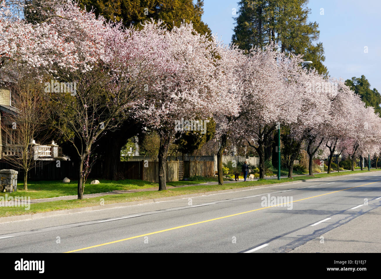 blossoming-japanese-ornamental-cherry-an