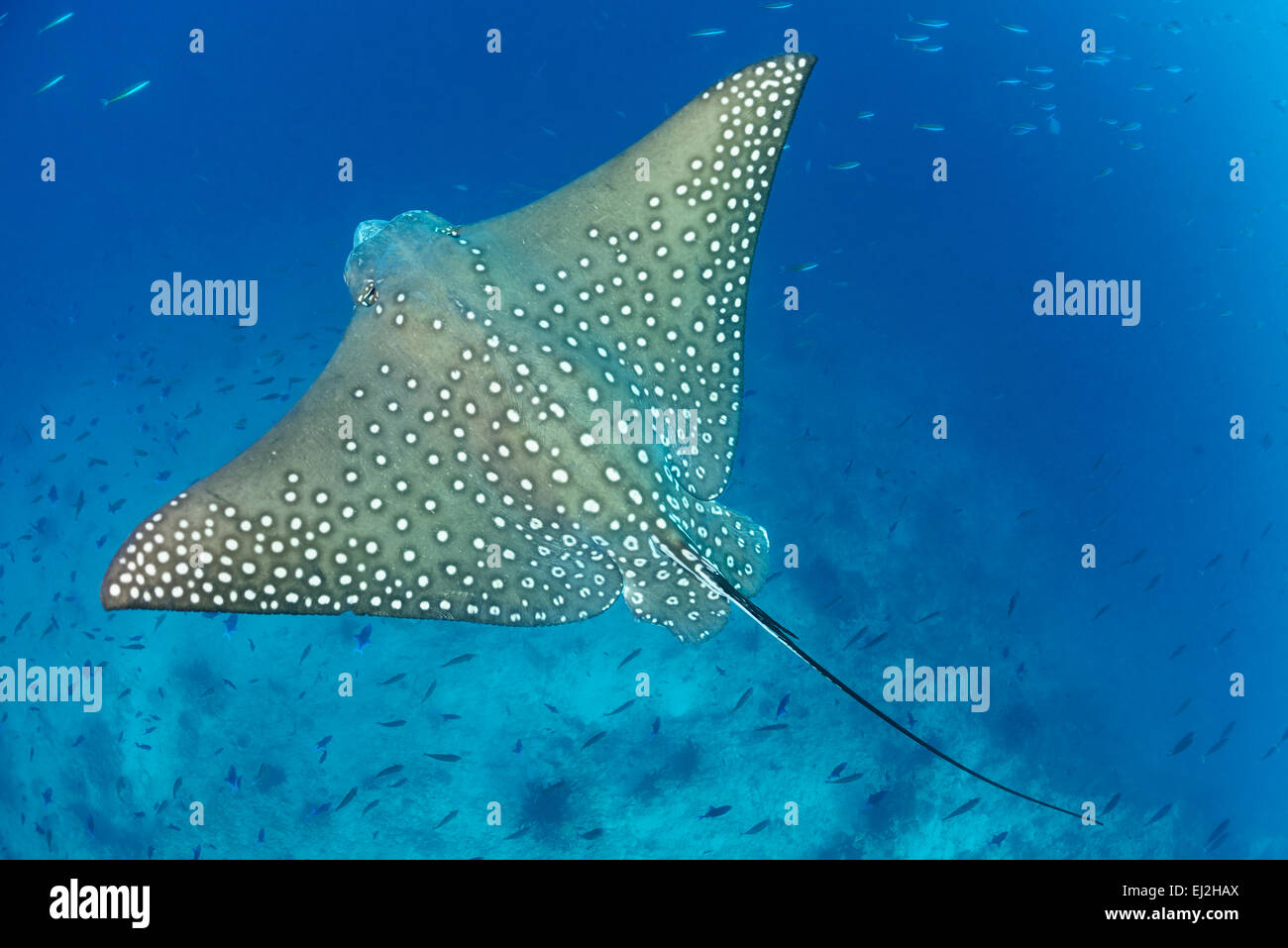 Spotted eagle ray coloring pages - Aetobatus Narinari White Spotted Eagle Ray Dhonfan Thila Baa Atoll Maldives