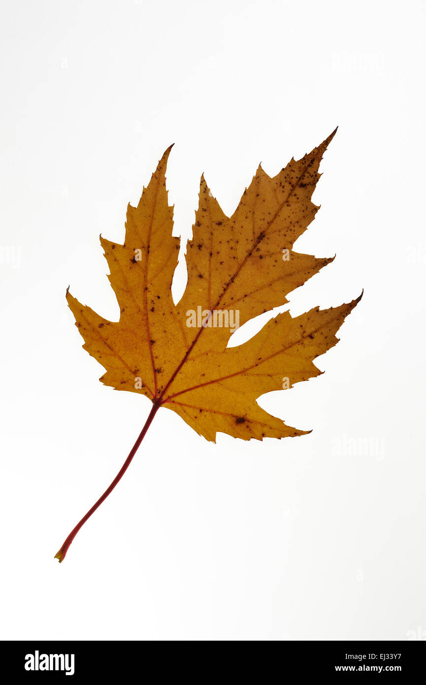Silver maple creek maple silverleaf maple acer saccharinum silver maple creek maple silverleaf maple acer saccharinum fall leaf native to eastern north america on white background sciox Choice Image