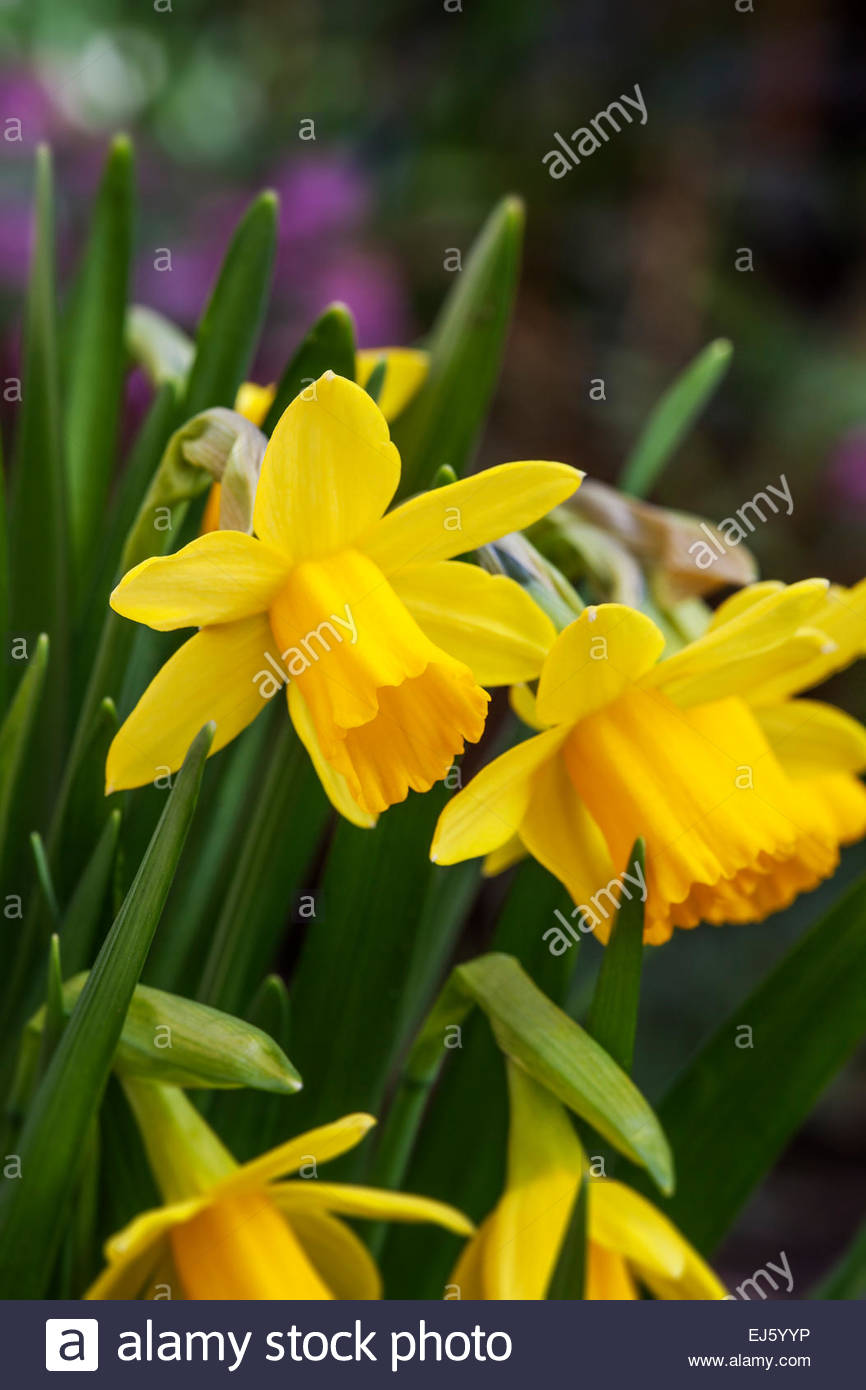narcissus u0027tete a tete u0027 daffodil spring flowers stock photo