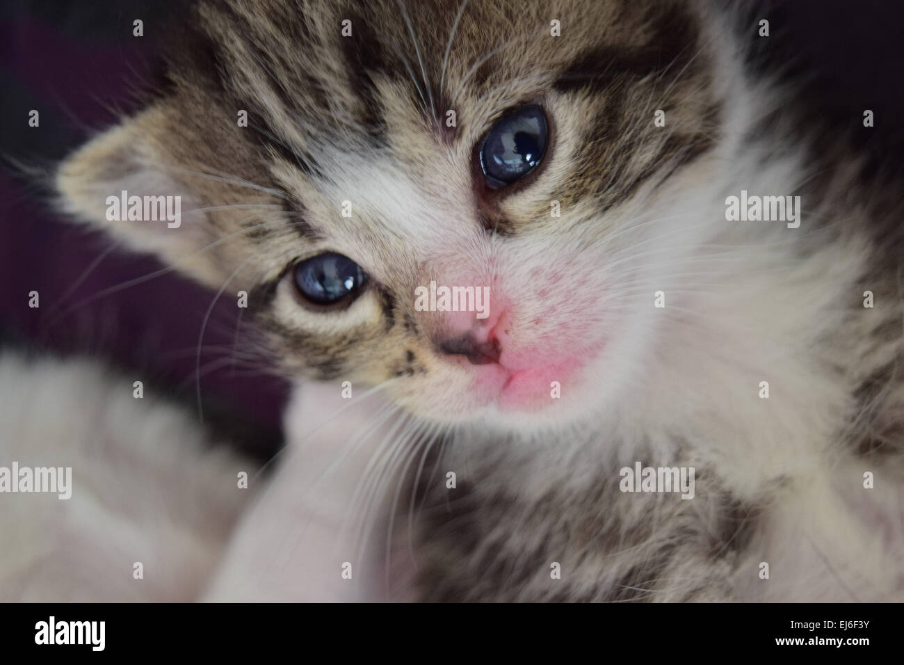 A baby kitten at 3 weeks old Stock Royalty Free Image