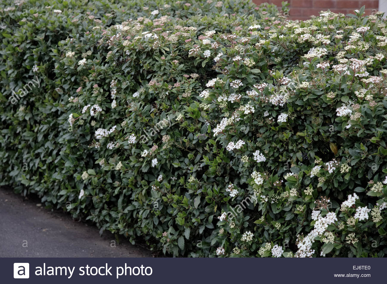 viburnum tinus as a suburban hedge stock photo royalty. Black Bedroom Furniture Sets. Home Design Ideas