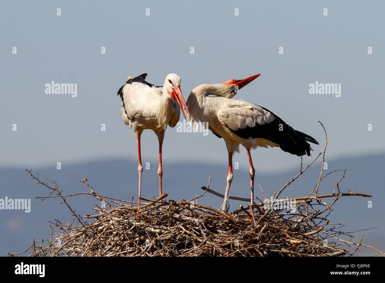 a couple of storks standing on their nest stock photo