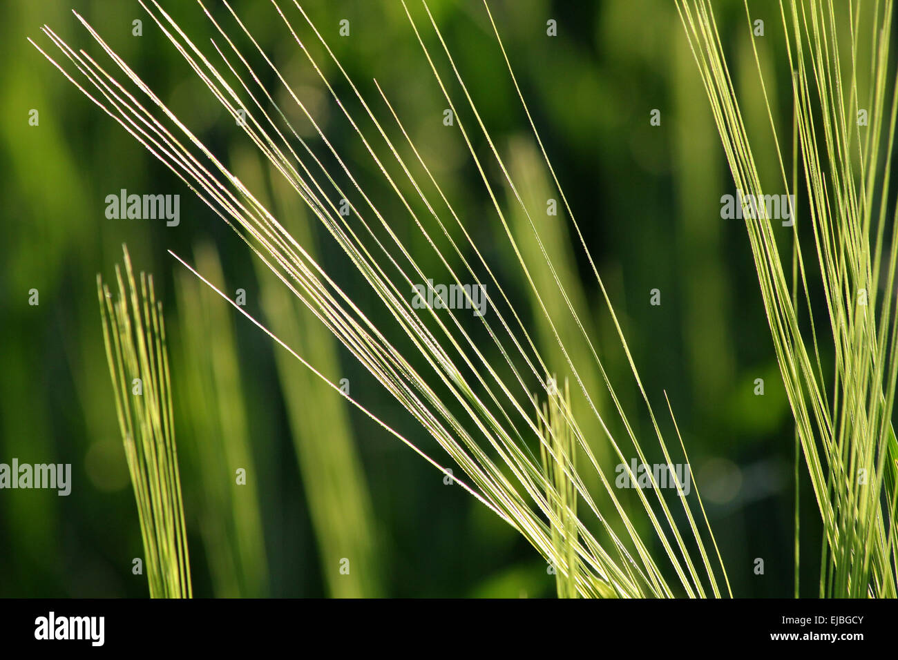 Barley with awns, cereal Stock Photo, Royalty Free Image: 15170035 ...