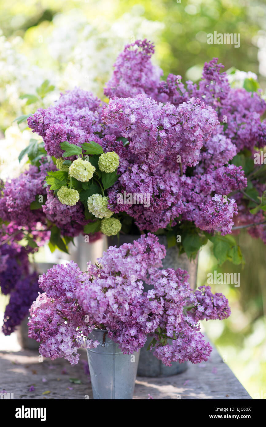 Cut Stems Of Lilac Blossoms Syringa Vulgaris And