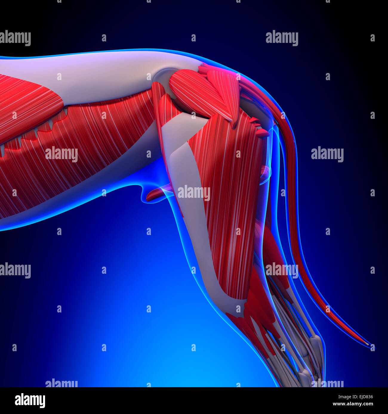 Dog Muscles Anatomy Anatomy Of A Male Dog Muscles Stock Photo
