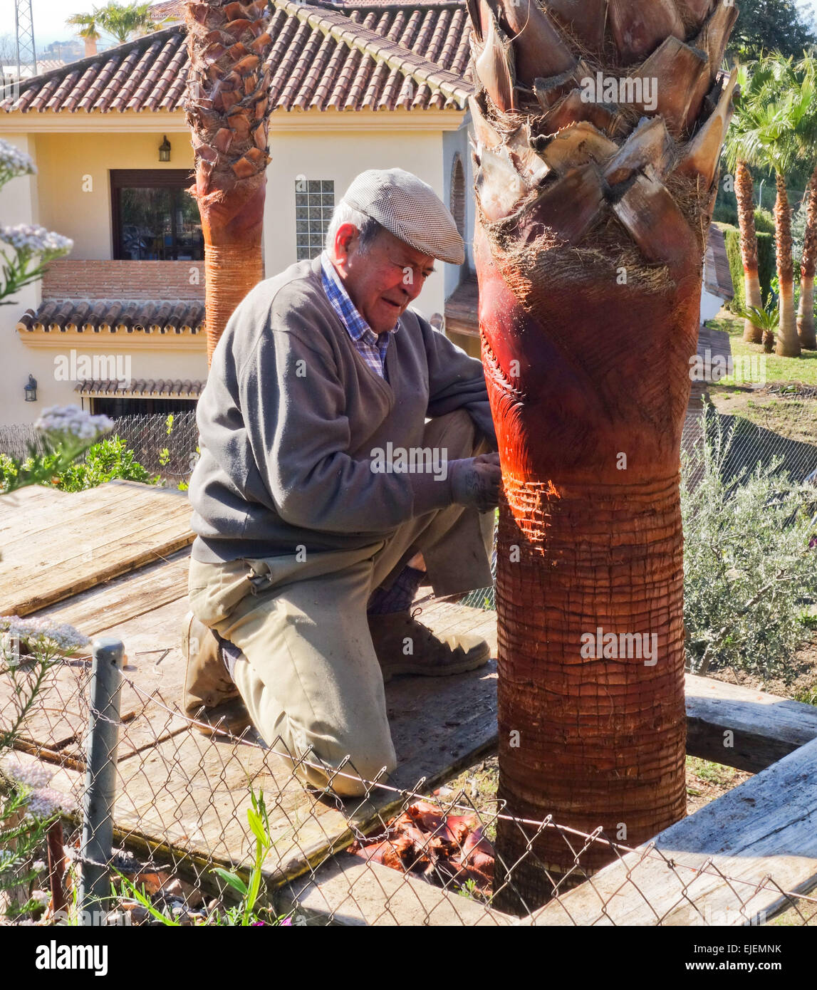 andalusian-older-man-palm-tree-pruned-by