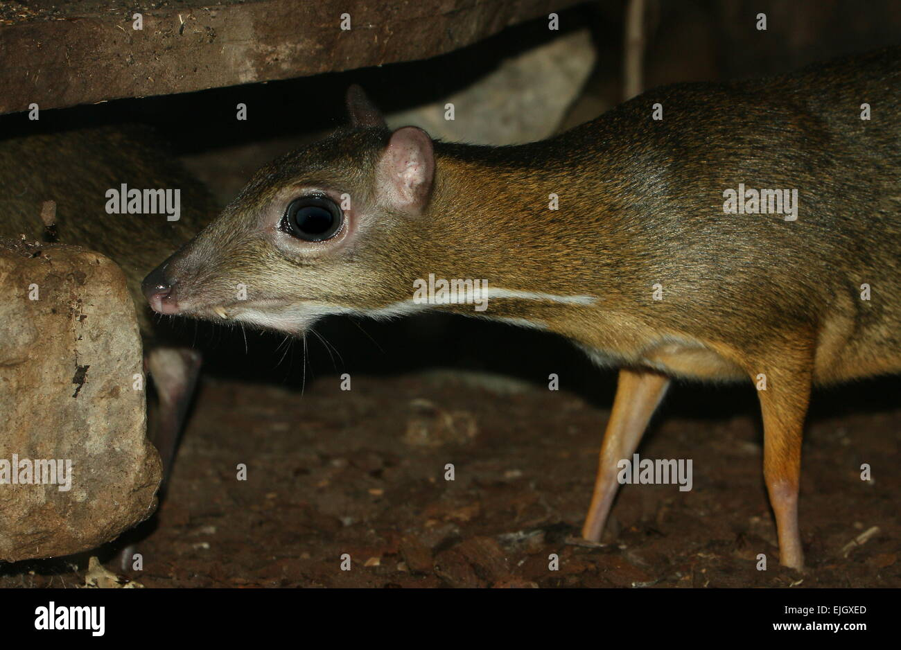 Southeast asian deer ungulate