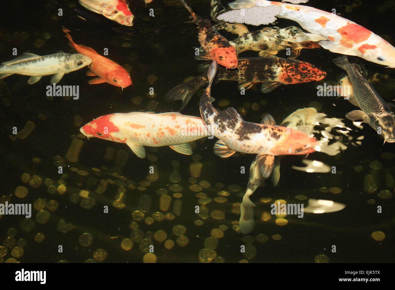 Fish aquarium and good luck - Koi Carps Fish Japanese Swimming In Aquarium Red Decorative Fishes And Coins In Holding Tank Symbols Of Good Luck And Prosperi