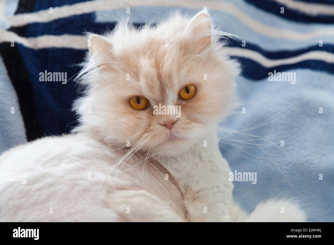 Fluffy white cat with orange eyes and long whiskers ... White Cat With Orange Eyes