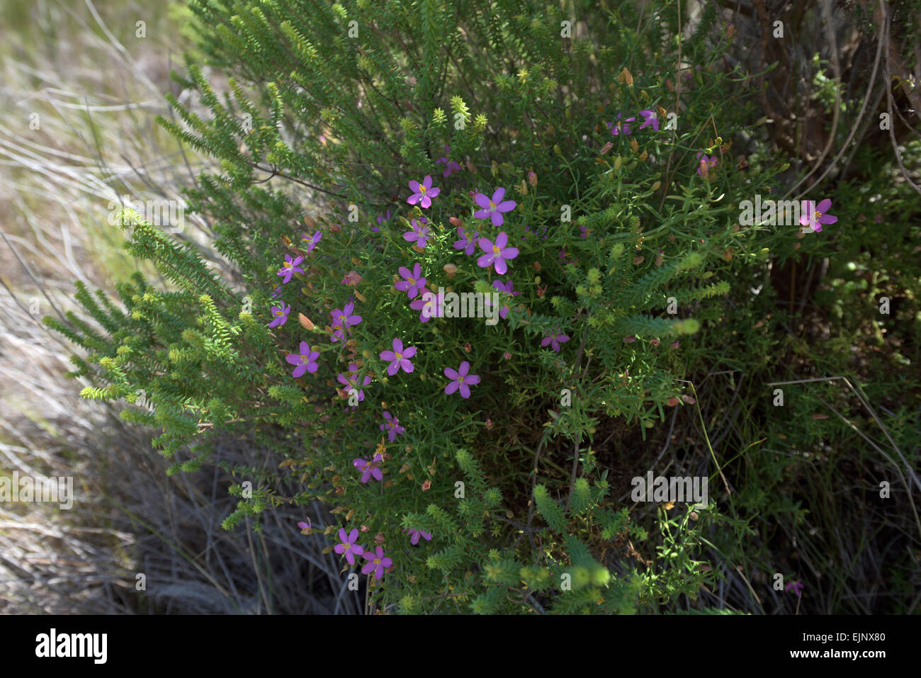 bush with small purple flowers South Africa Stock Royalty Free Image