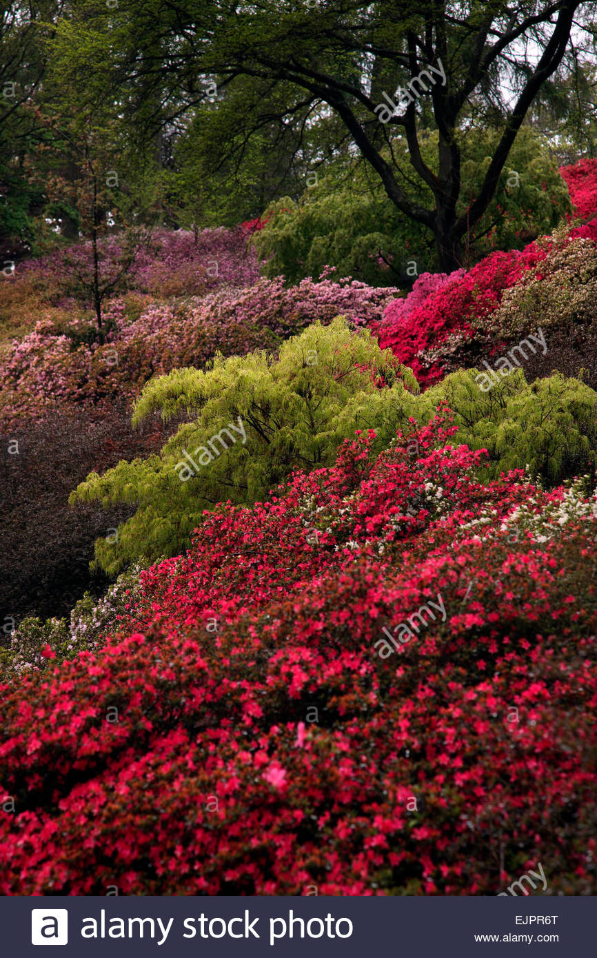 Massed Plantings Of Rhododendron