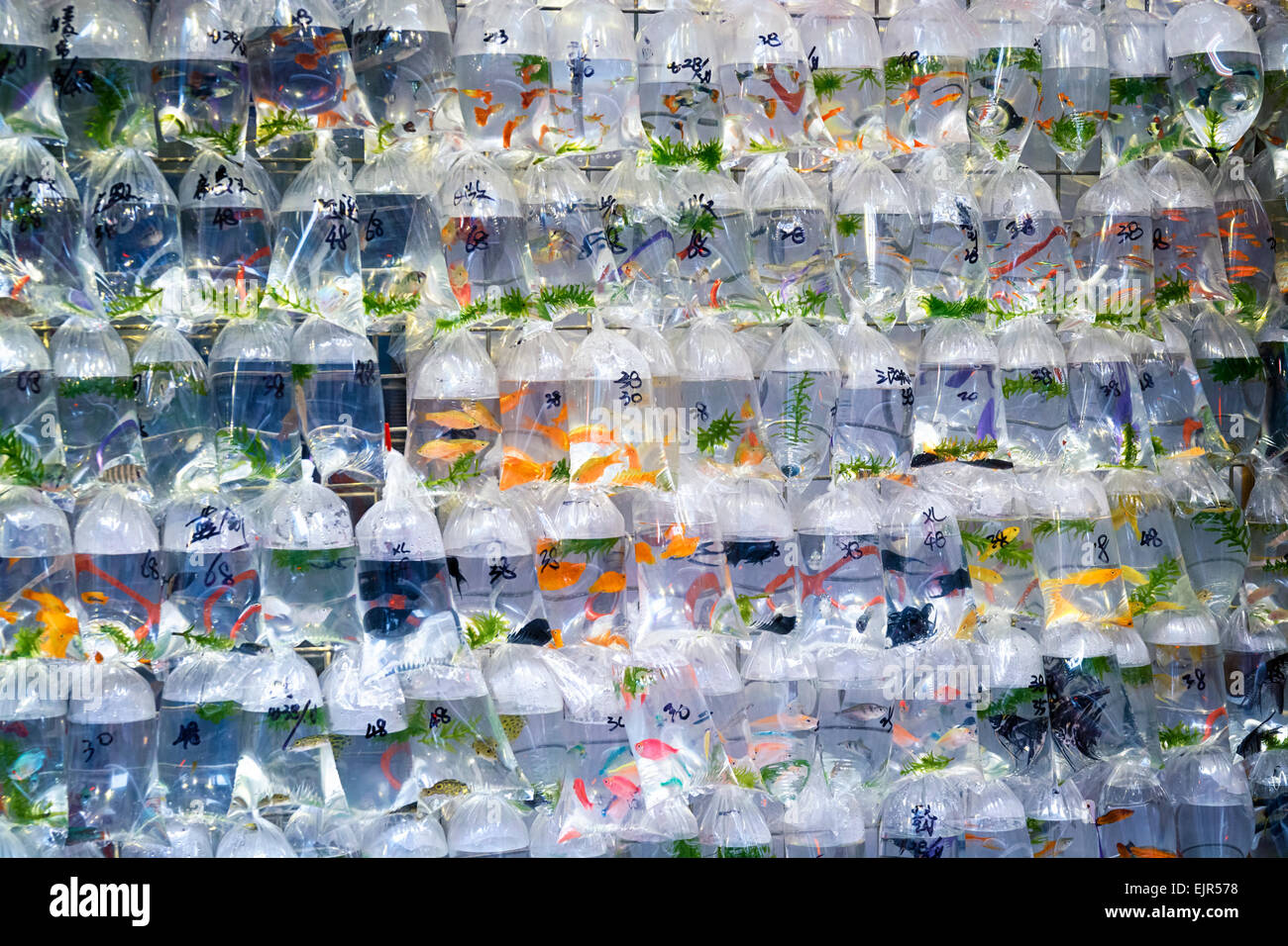 Aquarium fish displayed in plastic bags for sale in the Goldfish Stock Photo, Royalty Free Image ...