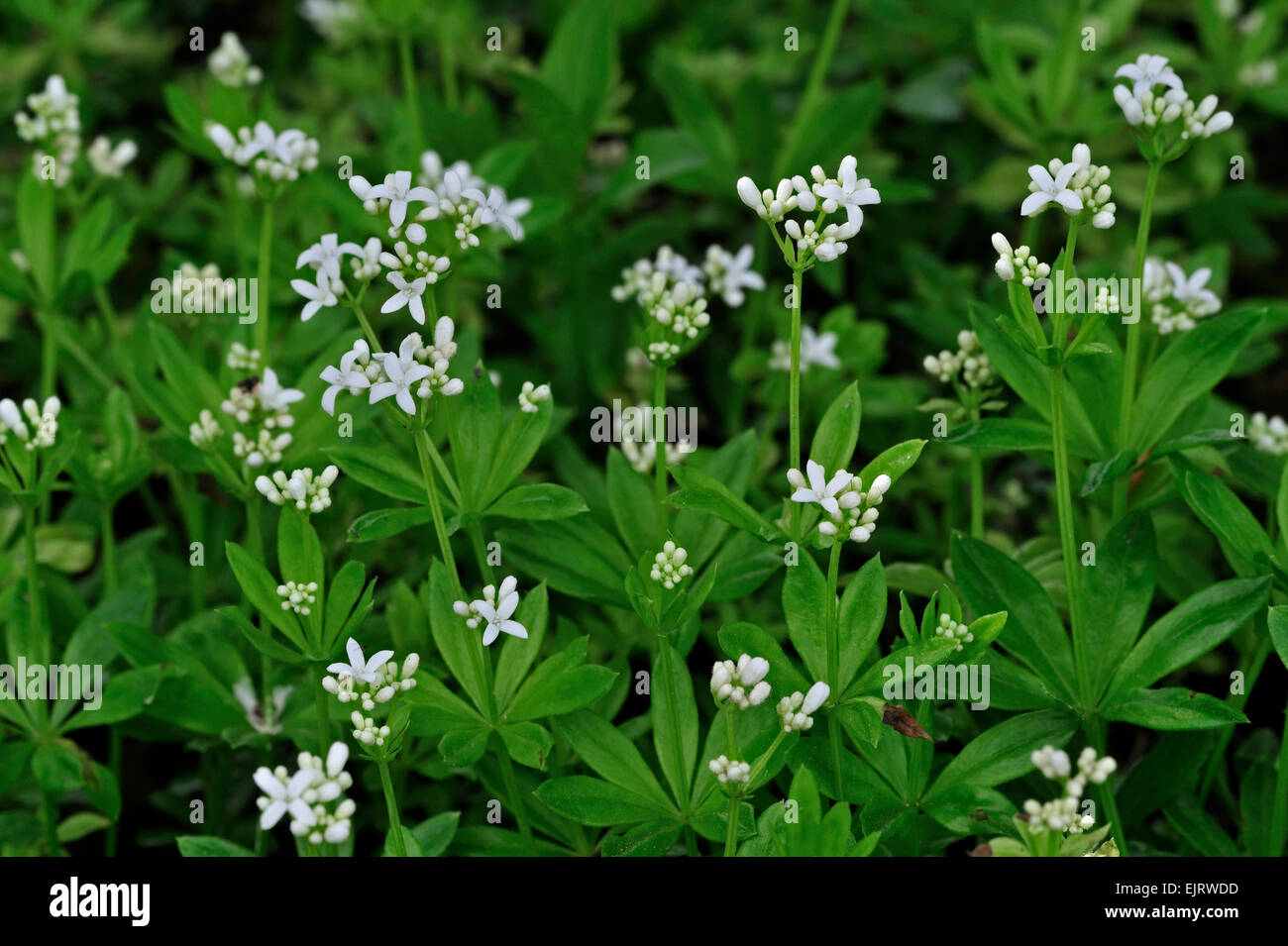 sweetscented bedstraw woodruff galium odoratum. Black Bedroom Furniture Sets. Home Design Ideas