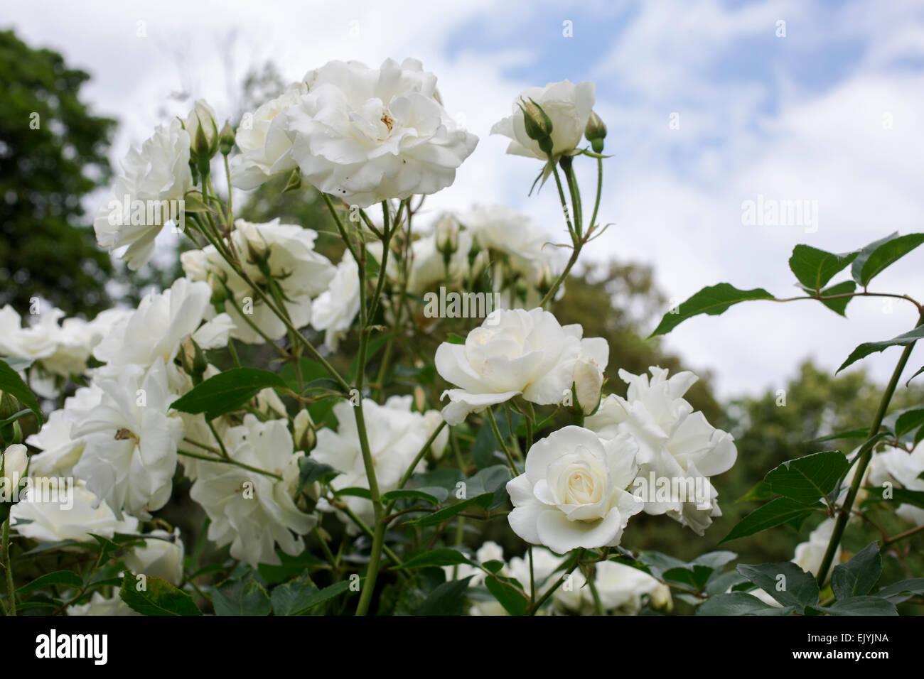 rosa schneewittchen or rosa iceberg white floribunda. Black Bedroom Furniture Sets. Home Design Ideas