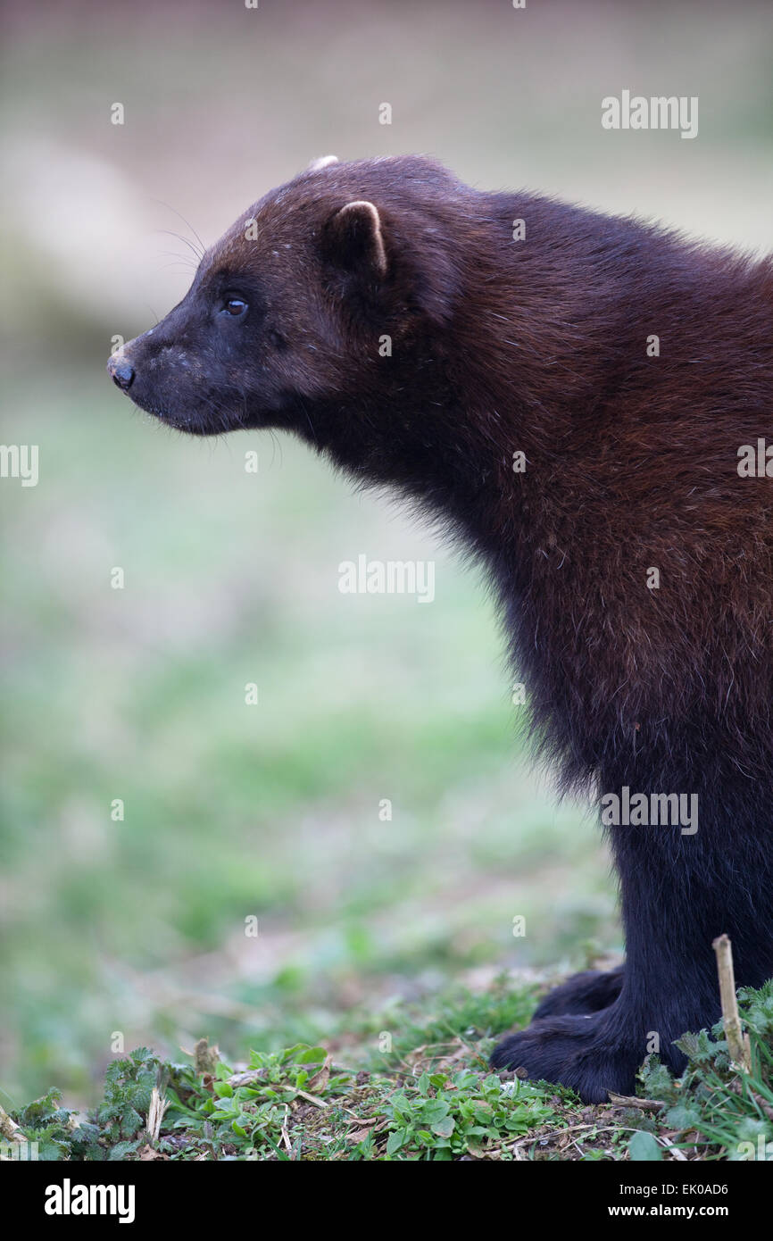 Wolverine (gulo Gulo). Largest Member Of The Weasel Family Stock ...