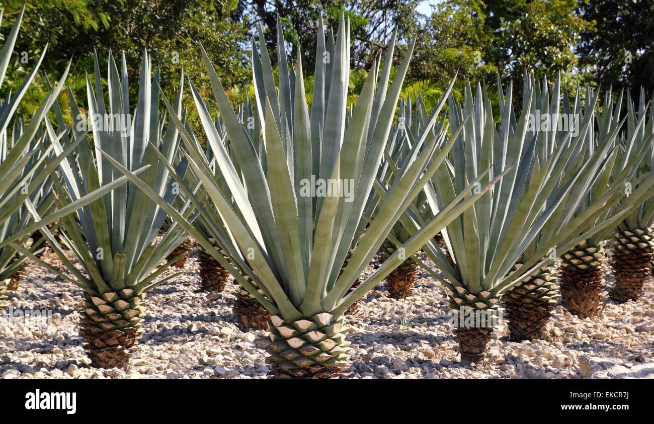 Blue Agave Tequila Plant Agave tequilana plant ...