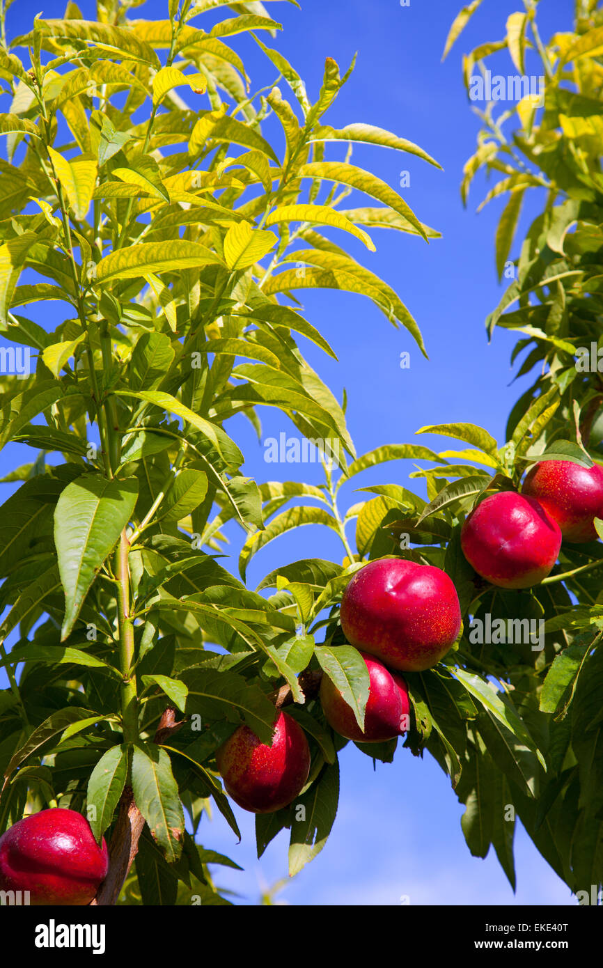 nectarine fruits on a tree with red color Stock Photo, Royalty Free ...