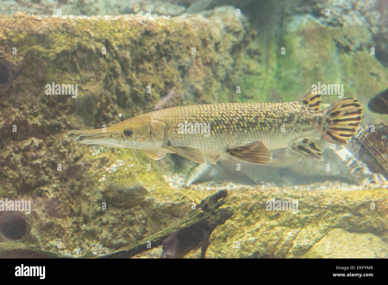 Alligator gar fish atractosteus spatula stock photo for Freshwater gar fish