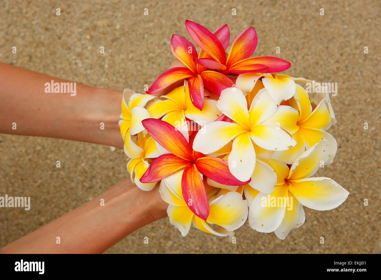 Hands holding white and pink plumeria flowers stock photo royalty hands holding white and pink plumeria flowers dhlflorist Gallery