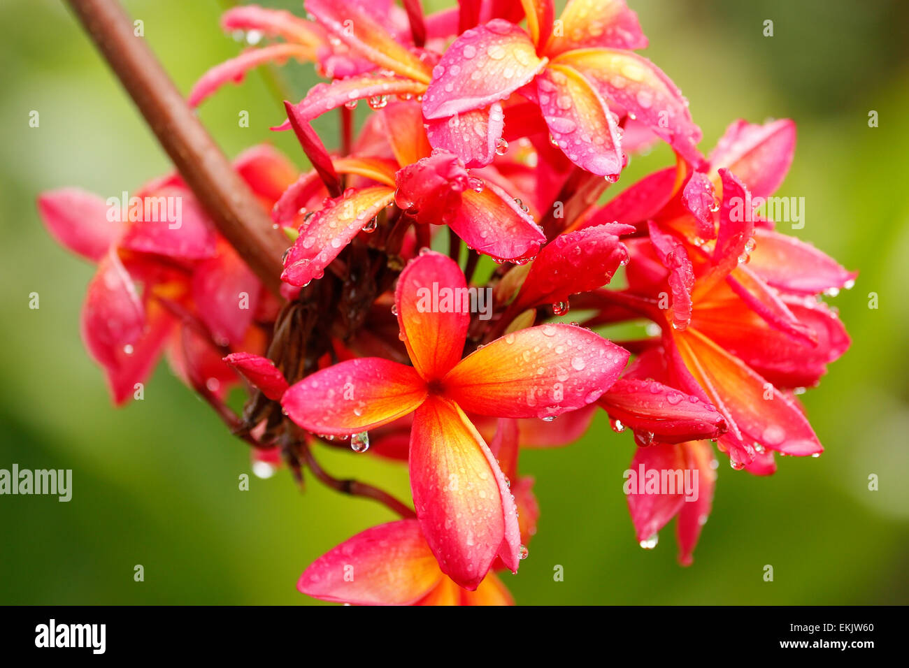 Pink plumeria flowers on a tree with water drops stock photo pink plumeria flowers on a tree with water drops dhlflorist Gallery