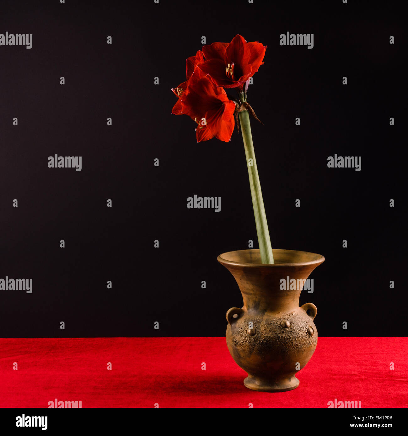 Beautiful blooming red amaryllis flower in a pot vase on table beautiful blooming red amaryllis flower in a pot vase on table with red tabletop and black background still life reviewsmspy
