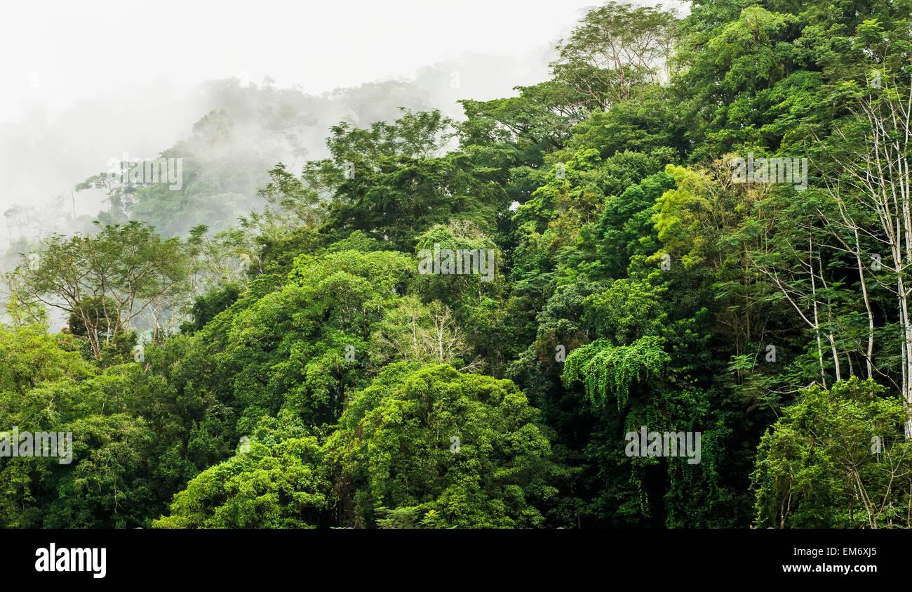Fog in a tropical rainforest canopy; Dos Brazos del Rio Tigre Costa Rica & Fog in a tropical rainforest canopy; Dos Brazos del Rio Tigre ...