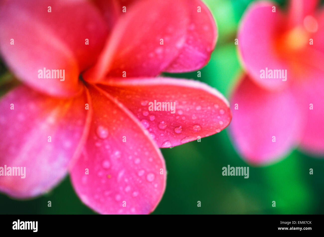 Hawaii maui close up pink plumeria flowers aka frangipani on hawaii maui close up pink plumeria flowers aka frangipani on plant outdoor water droplets wet blurry background dhlflorist Gallery