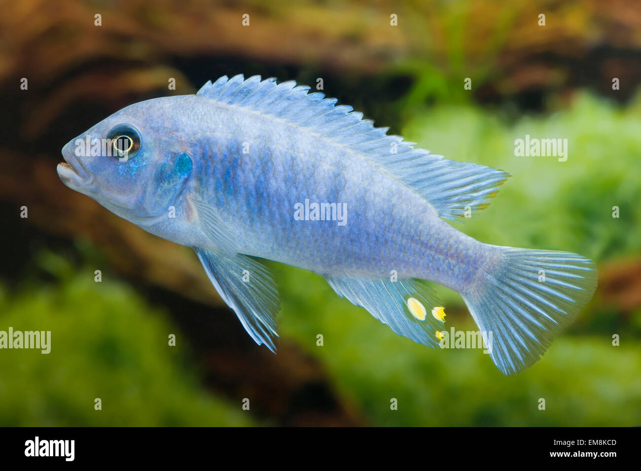 Pseudotropheus spec ice blue malawi buntbarsch malawi for Malawi buntbarsch