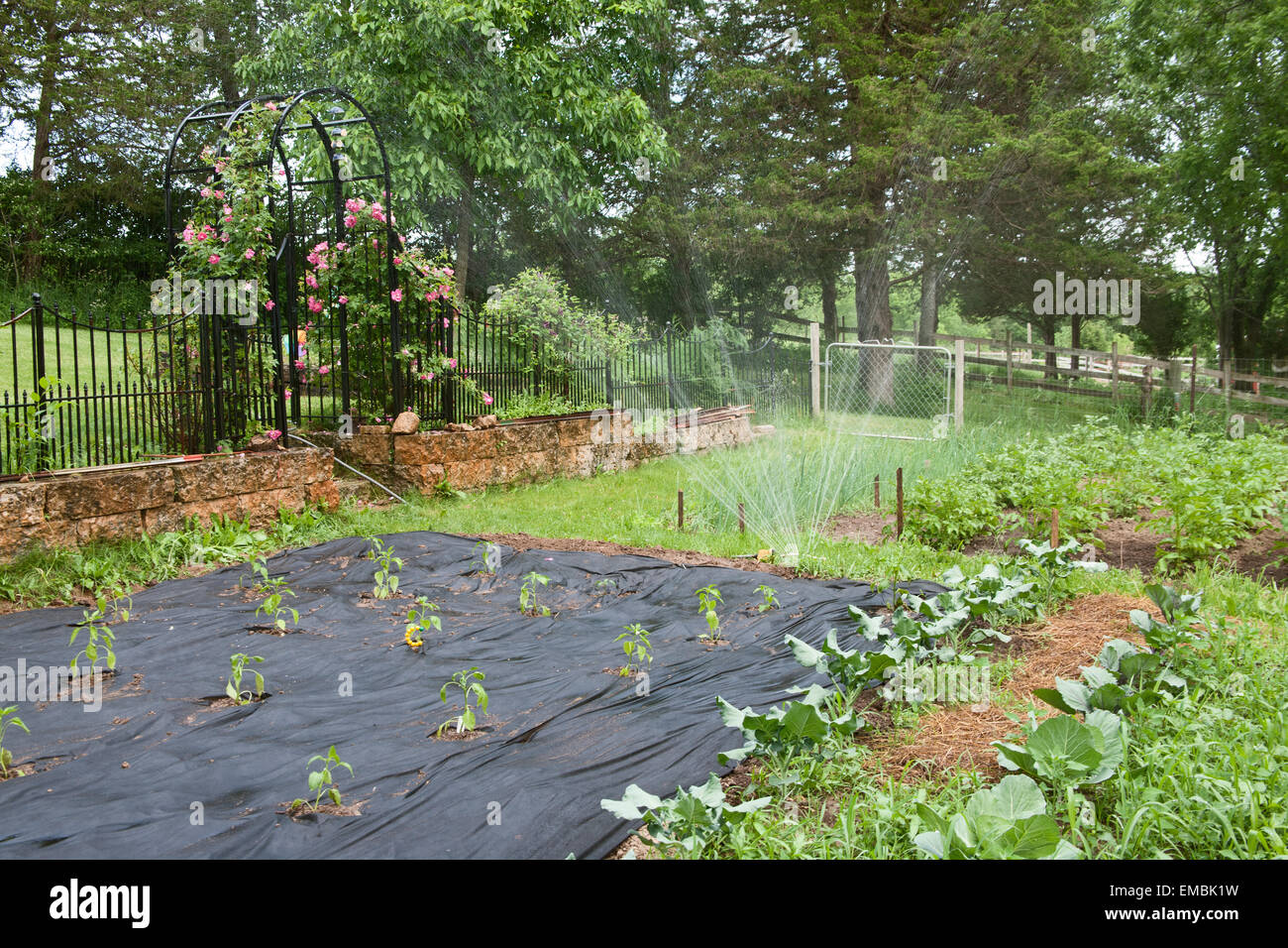 Vegetable Garden Being Watered, With Freshly Planted Sweet Peppers  Surrounded By Black Fabric Mulch In A U0027kitchen Gardenu0027