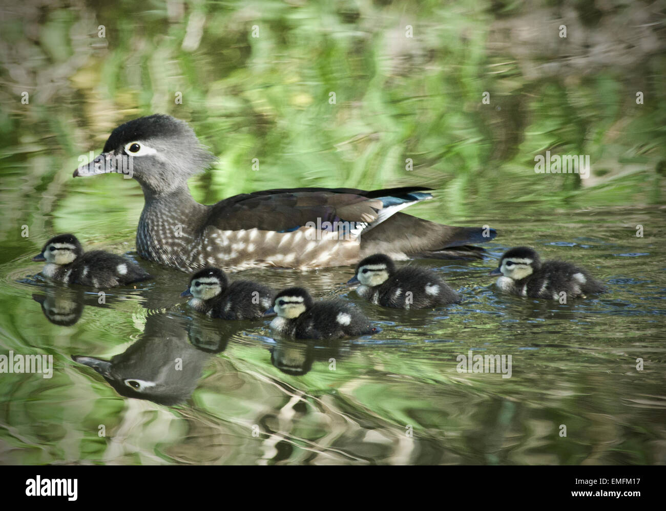 wood duck hen with ducklings stock photo royalty free image