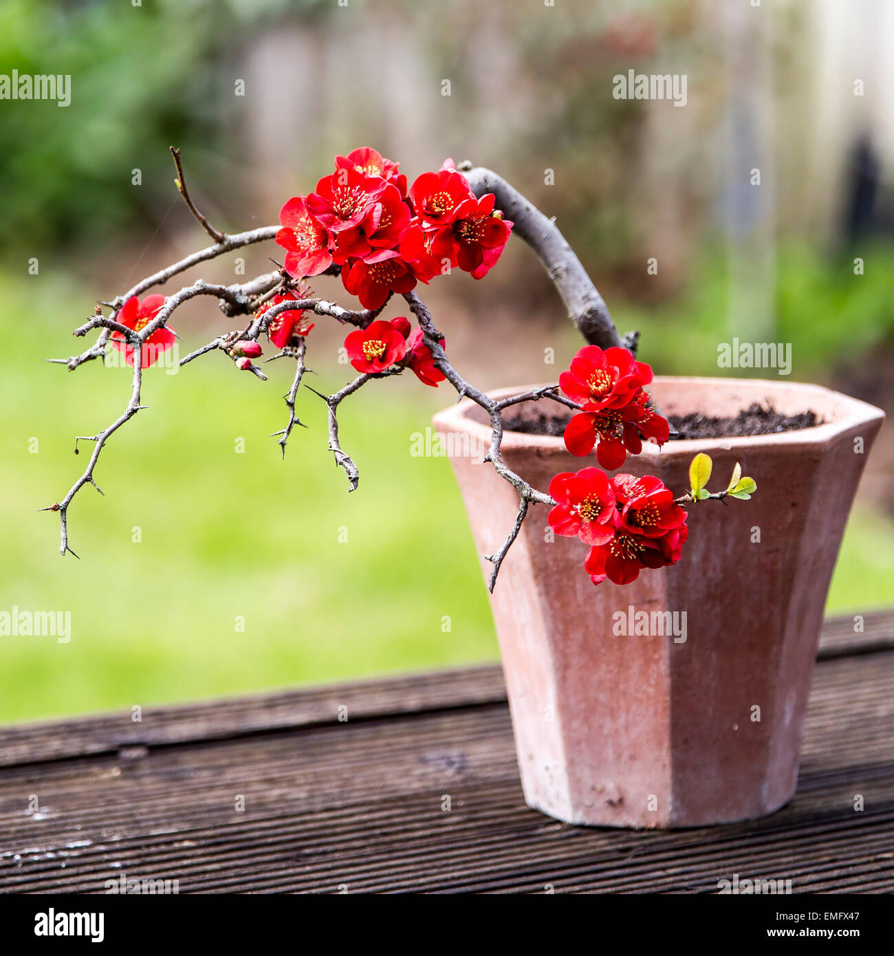 Flowering Quince Bonsai Tree Scientific Name Chaenomeles Speciosa Stock Photo Alamy