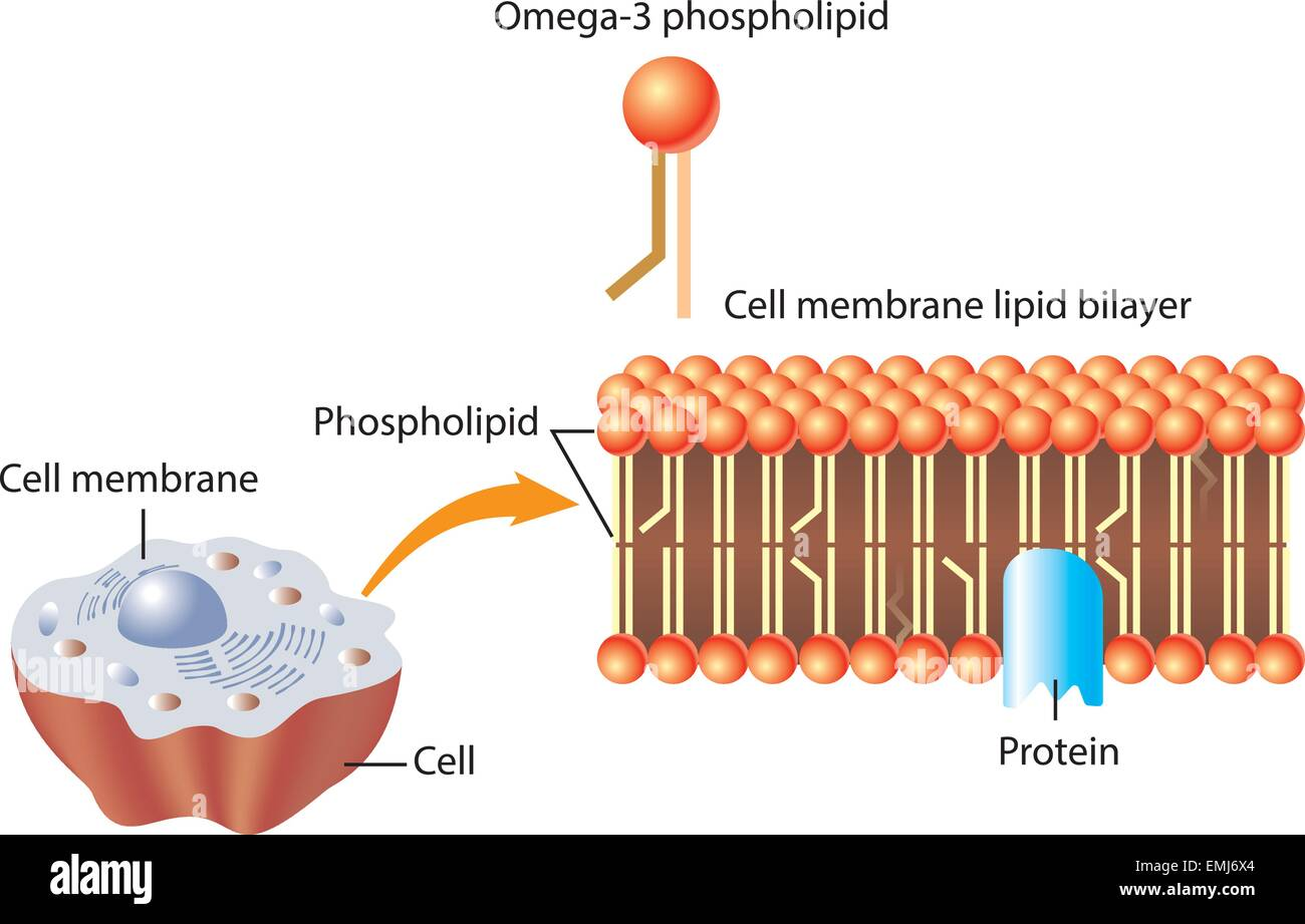 omega3 phospholipid and skin cell membrane lipid layer
