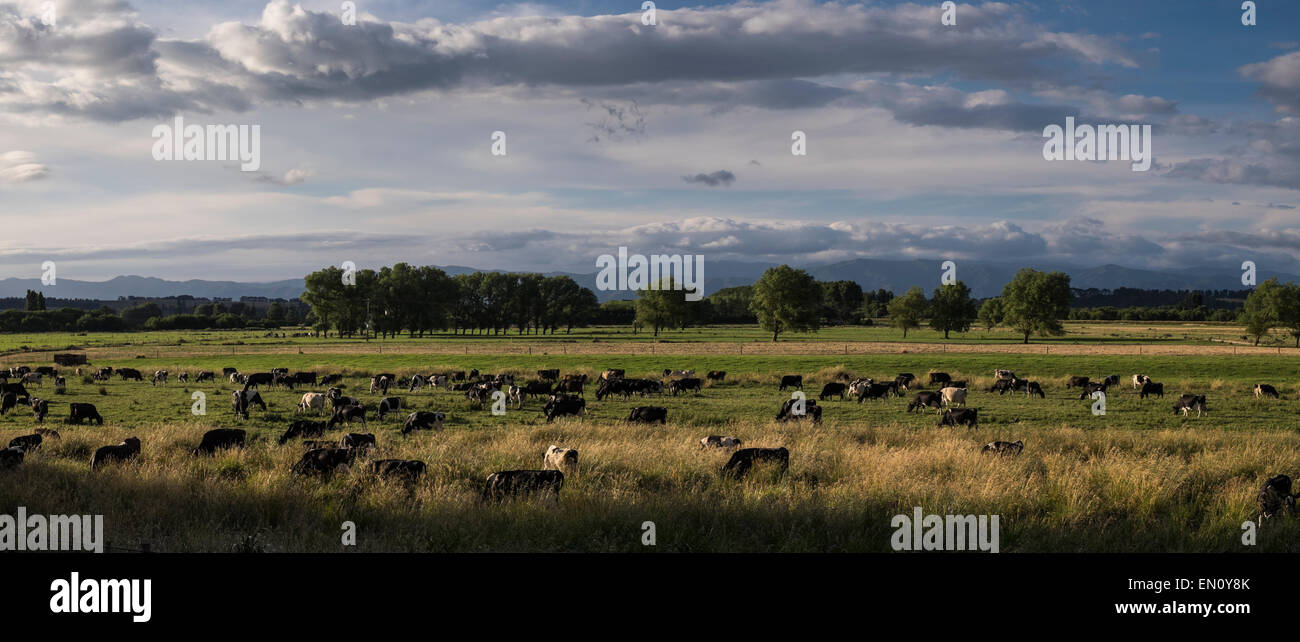dairy-herd-grazing-in-a-pasture-outside-