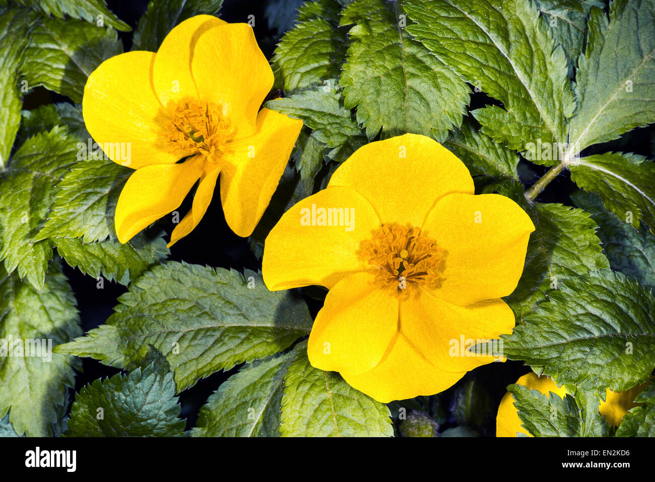 Flower marigold flower yellow blooming spring green leaves for Perennial pond plants
