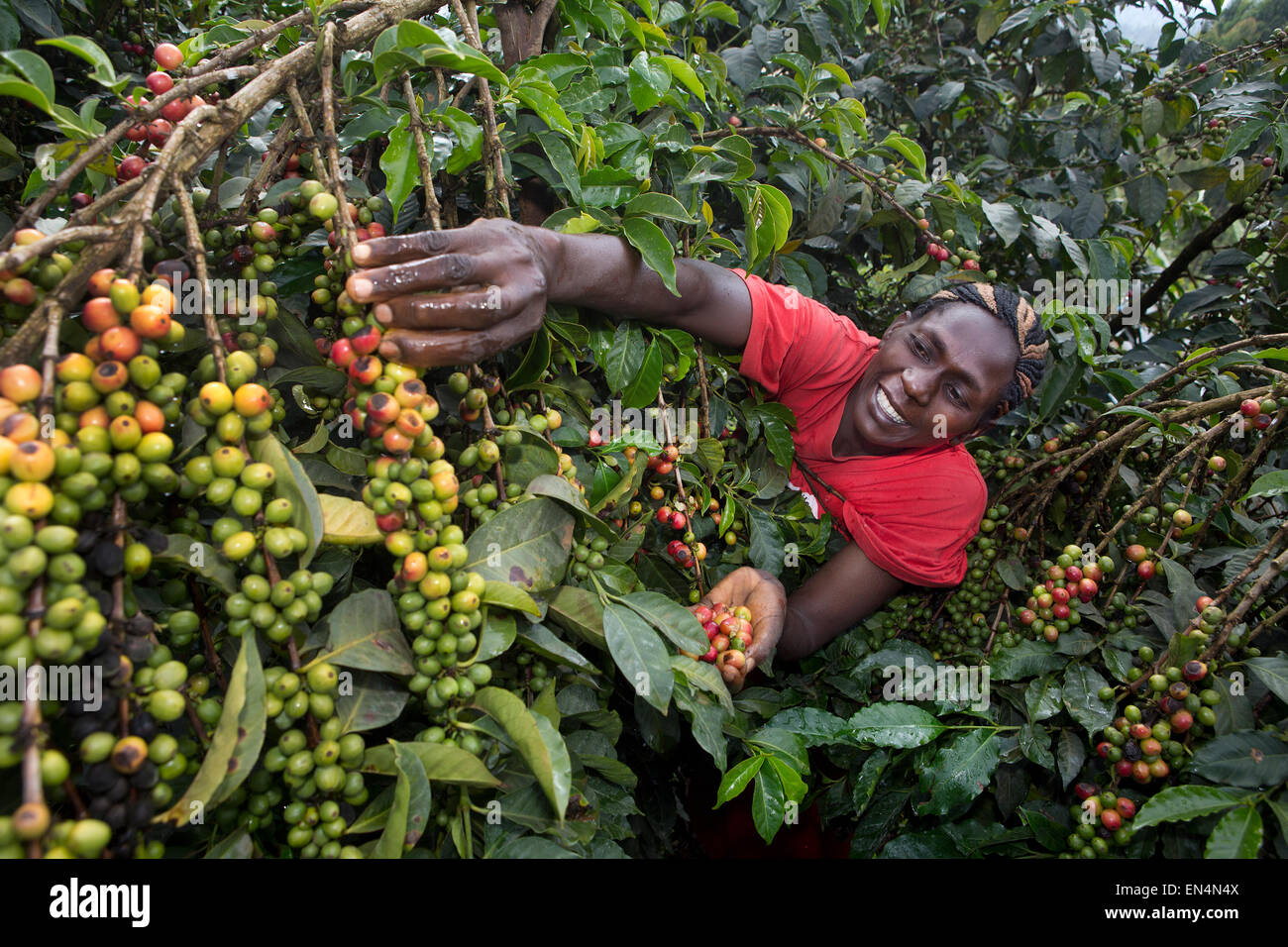 coffee industry Counting with the world's largest production of coffee, brazil is the most important player in the area the grain produced in the country feeds an.