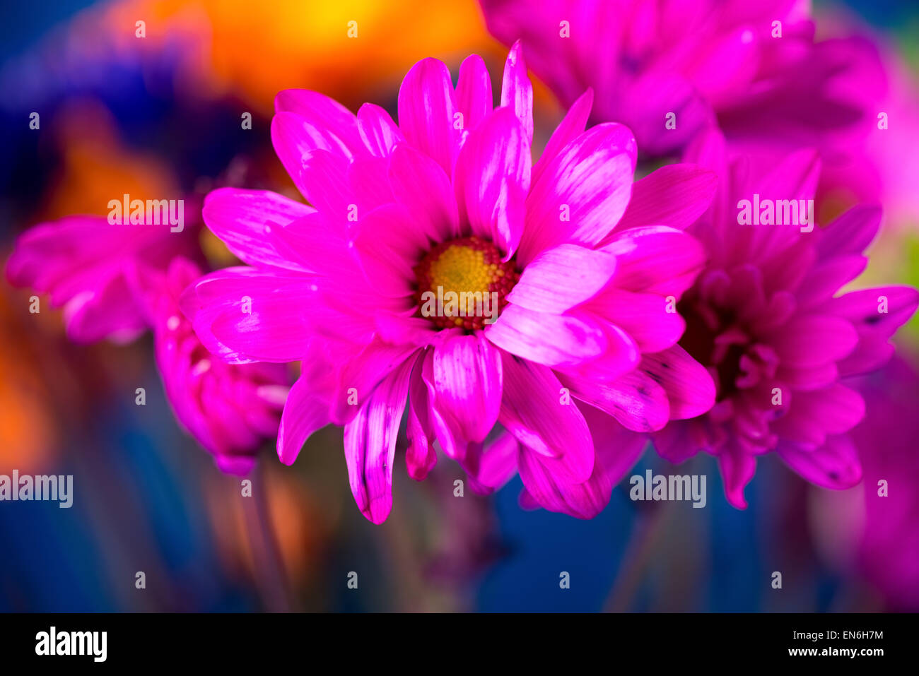 Colorful Daisies Background