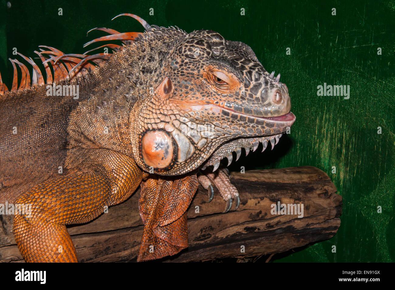 Red iguana large phytophagous lizard family iguanidae ...