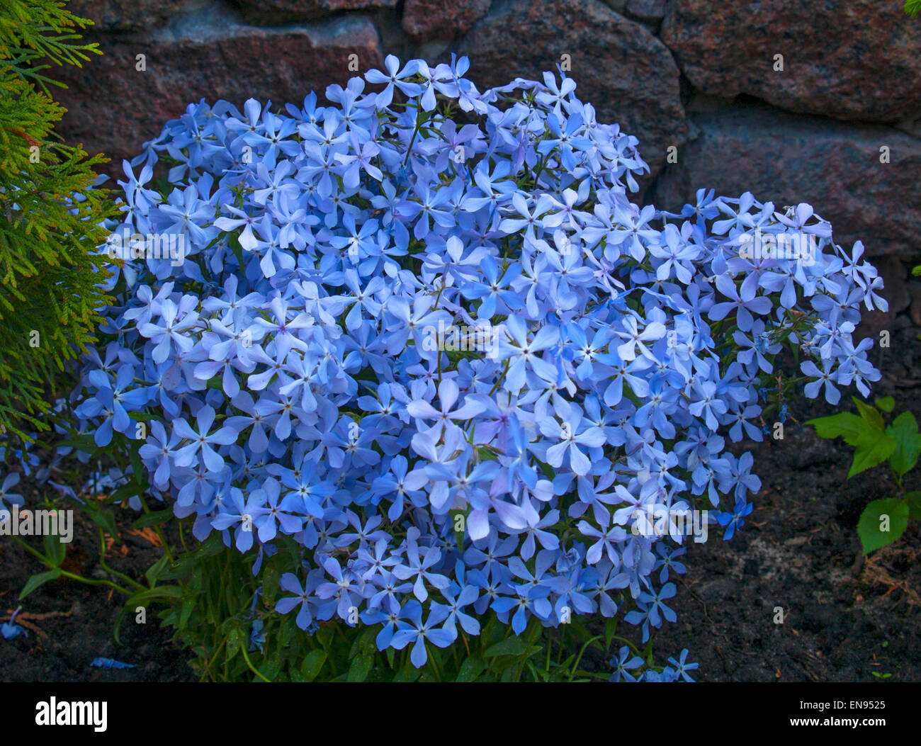 Blue Flower Bushes In Florida Blue Celtic Border Designs Clipart