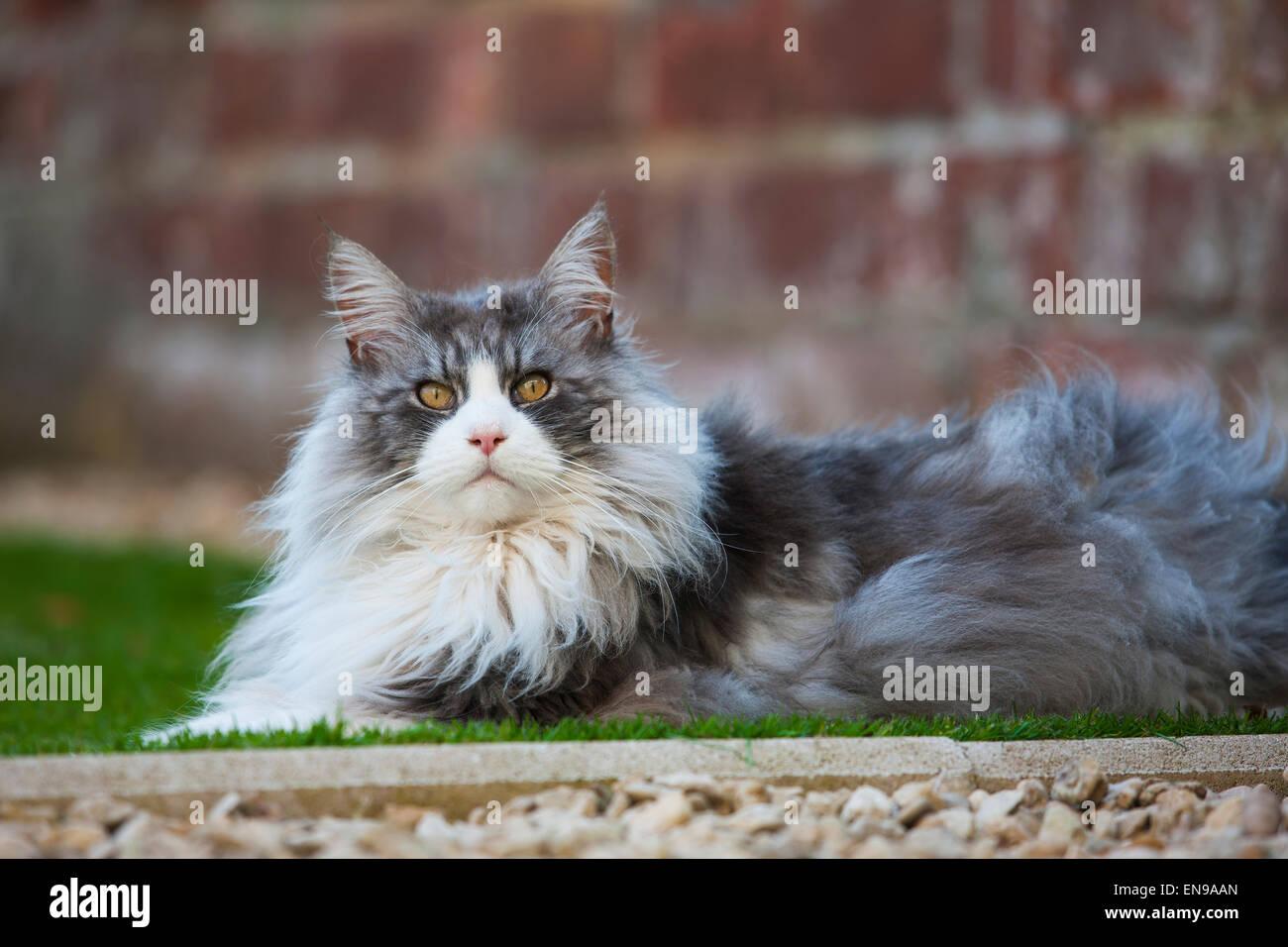 asian leopard cat cost