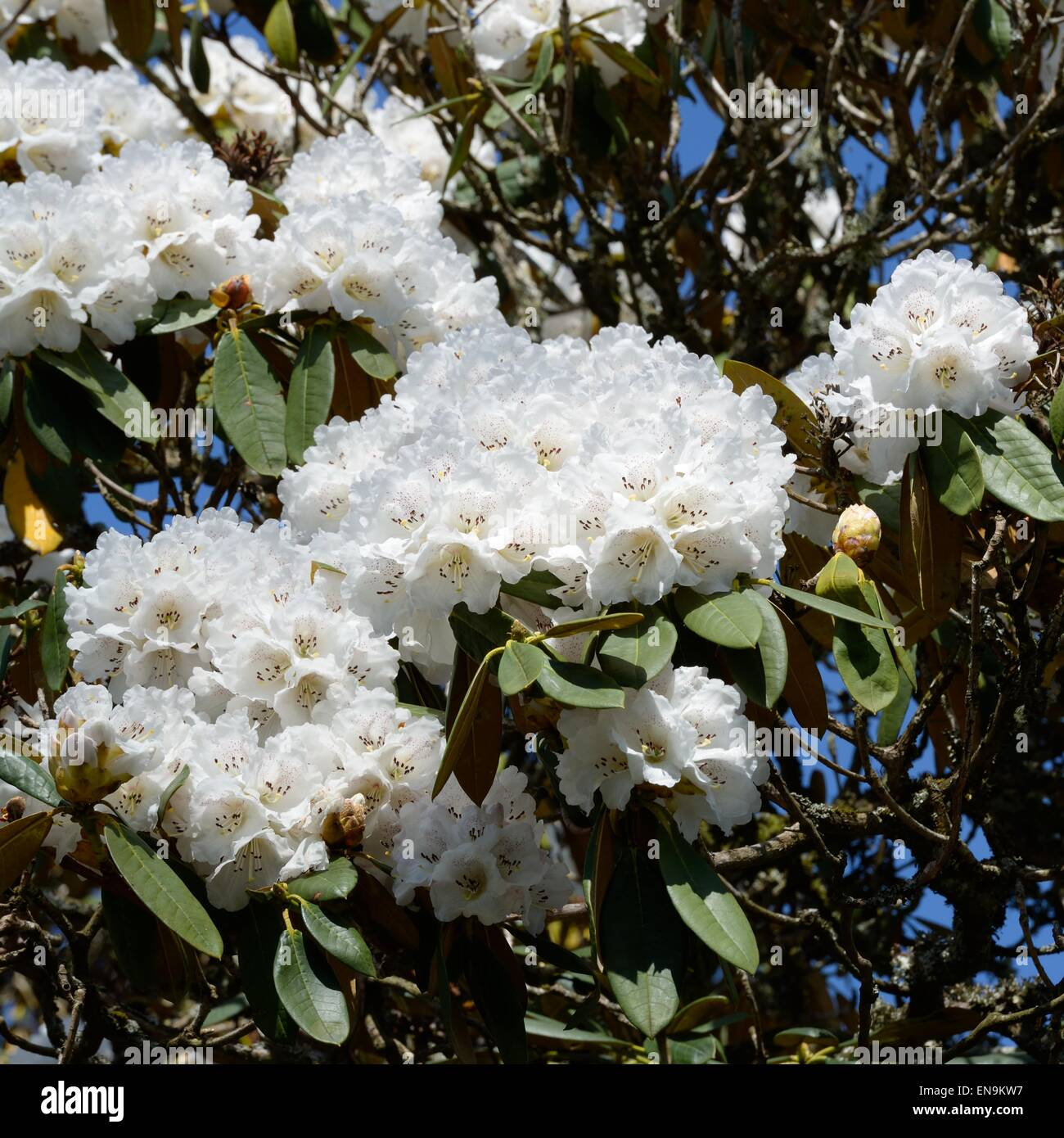 white rhododendron cunningham 39 s white variant bush in a. Black Bedroom Furniture Sets. Home Design Ideas