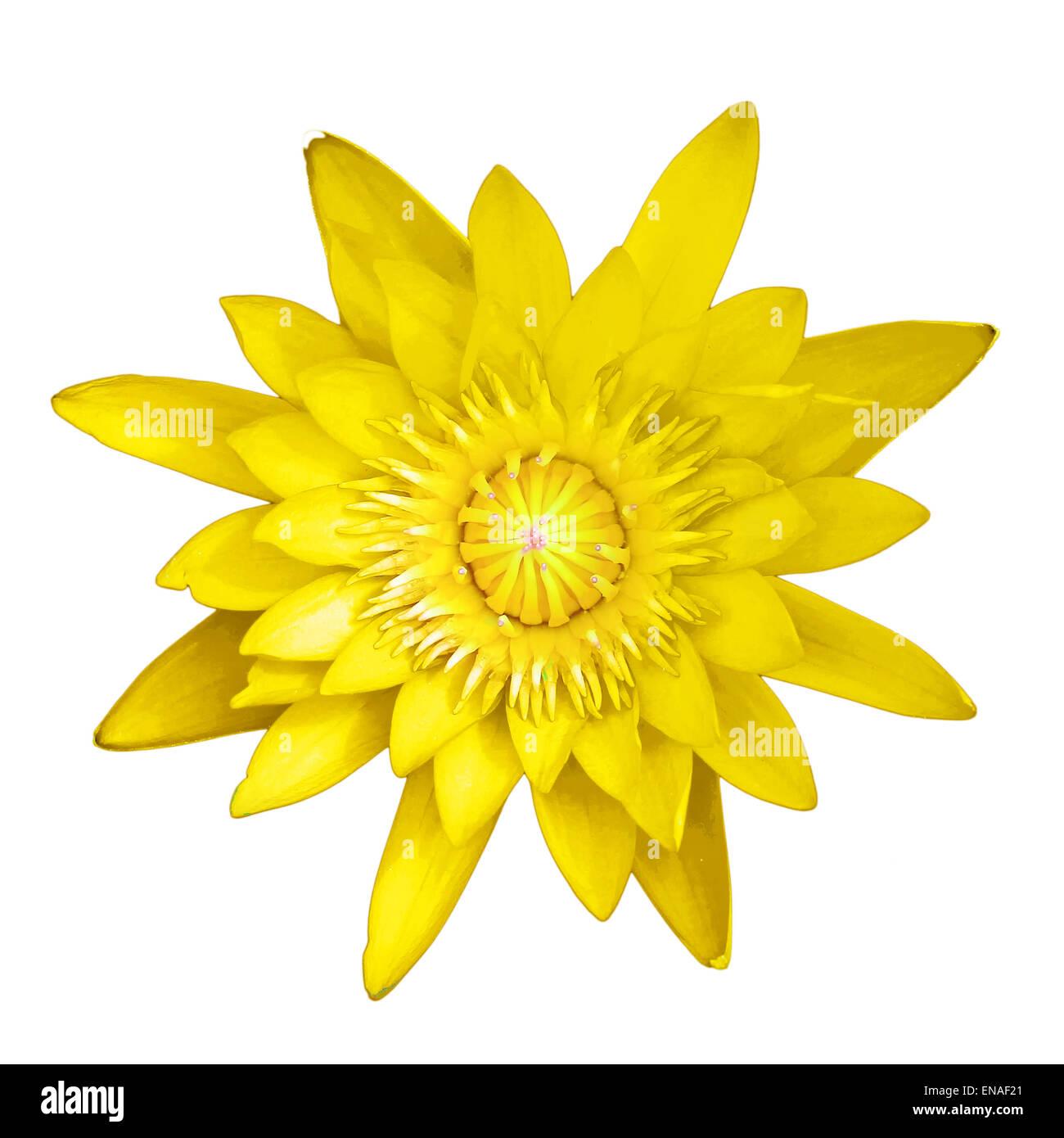 Yellow lotus flower isolated on white background stock photo yellow lotus flower isolated on white background izmirmasajfo