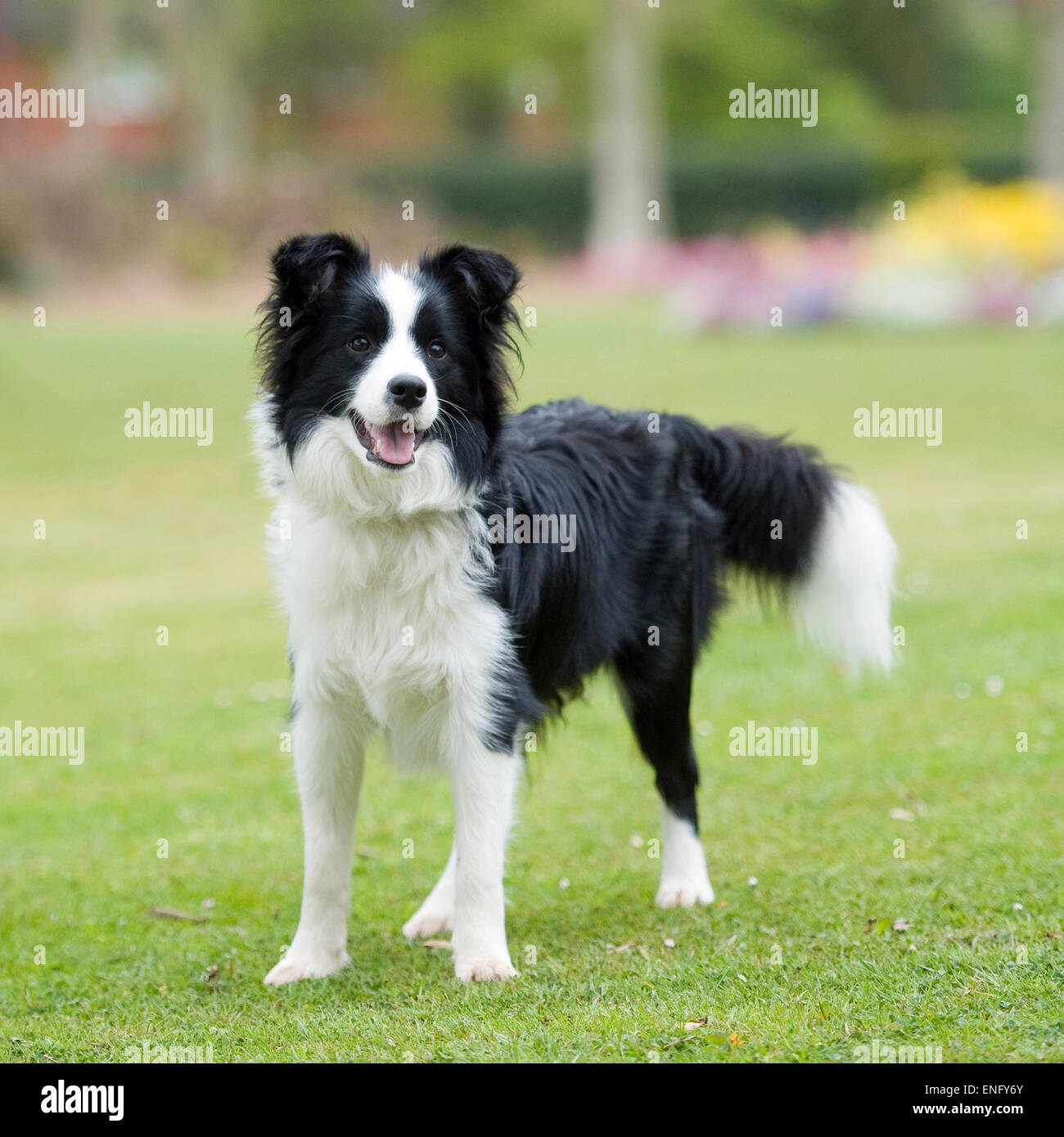 border collie Stock Photo Royalty Free Image 82099891  Alamy
